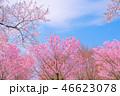 桜 春 花の写真 46623078