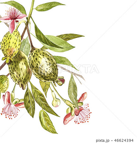 Watercolor illustration feijoa plant. Hand drawn watercolor painting on white background. Watercolor 46624394