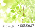 新緑 植物 葉の写真 46635087