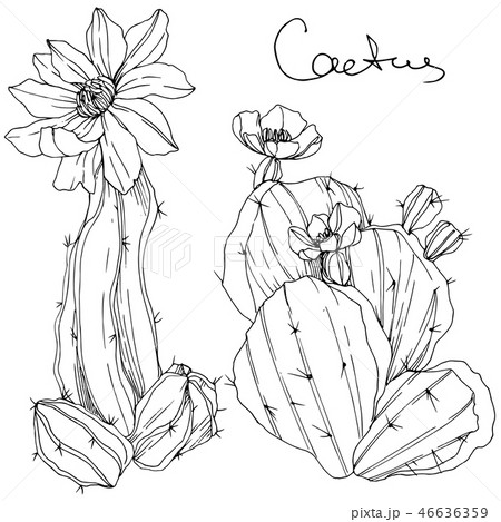 Vector Cacti floral botanical flower. Black and white engraved ink art. Isolated cacti illustration 46636359