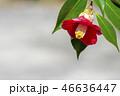 椿 花 植物の写真 46636447