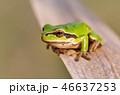 かえる カエル 蛙の写真 46637253