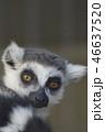 ワオキツネザル サル アップの写真 46637520