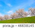 桜並木 桜 春の写真 46638145