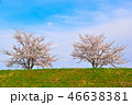 桜 春 染井吉野の写真 46638381