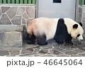 動物 パンダ 哺乳類の写真 46645064
