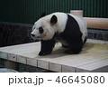 動物 パンダ 哺乳類の写真 46645080