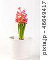 白背景 切り抜き お花の写真 46649417