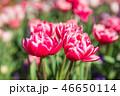 チューリップ 花 植物の写真 46650114