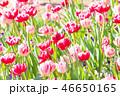 チューリップ 花 花畑の写真 46650165