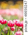 チューリップ 花 植物の写真 46650247
