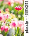 チューリップ 花 植物の写真 46650253