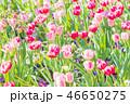 チューリップ 花 花畑の写真 46650275