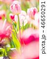 チューリップ 花 植物の写真 46650291