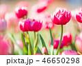 チューリップ 花 植物の写真 46650298
