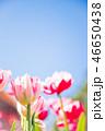 チューリップ 花 植物の写真 46650438