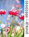 チューリップ 花 植物の写真 46650440