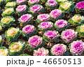 葉牡丹 植物 アブラナ科の写真 46650513