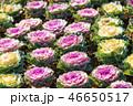 葉牡丹 植物 アブラナ科の写真 46650517