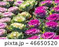 葉牡丹 植物 アブラナ科の写真 46650520