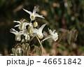 ひっそりと咲いているけど しっかり個性的 イカリソウ 46651842