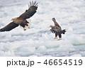 流氷の上を舞うオジロワシ(北海道・羅臼) 46654519