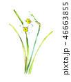 水仙 水彩 花のイラスト 46663855
