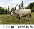 White Buffalo with long horns. 46664070