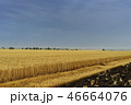 Yellow grain ready for harvest growing in a farm field 46664076