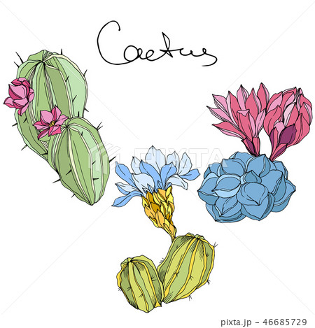 Vector Cacti floral botanical flower. Green and blue engraved ink art. Isolated cacti illustration 46685729