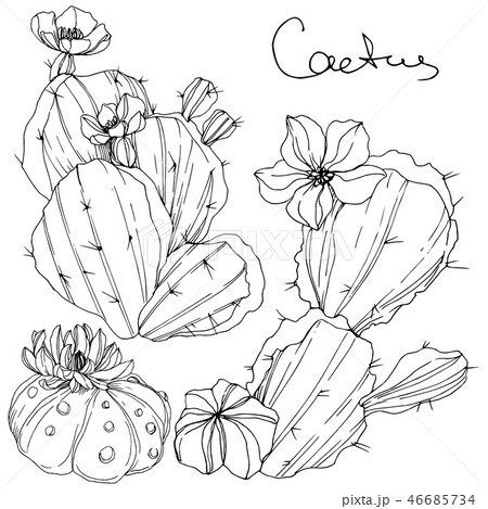Vector Cacti floral botanical flower. Black and white engraved ink art. Isolated cacti illustration 46685734