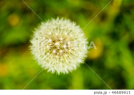 Detailed closeup of fluffy dandelion seed heads 46689915