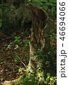 獅子ヶ鼻湿原の枯れ木 46694066