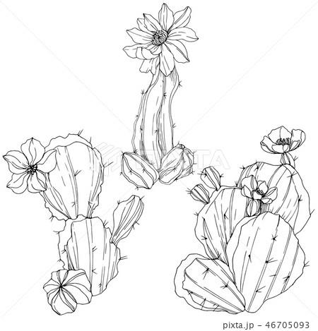 Vector Cacti floral botanical flower. Black and white engraved ink art. Isolated cacti illustration 46705093