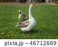 ガチョウ グース ガンの写真 46712669
