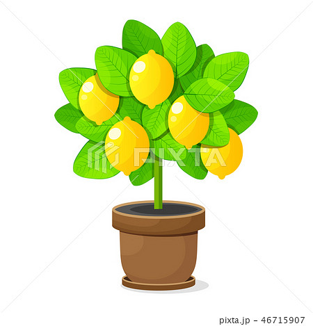 Lemon tree in clay pot on white background vector 46715907