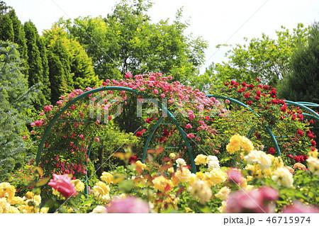 清水公園 バラ園  46715974