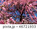 枝垂れ梅 花 植物の写真 46721933