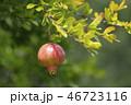 ザクロ 実 果実の写真 46723116