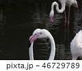 鳥 フラミンゴ ふらみんごの写真 46729789
