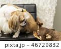 ペット 愛犬 チワワ 46729832