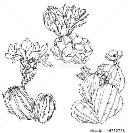 Vector Cacti floral botanical flower. Black and white engraved ink art. Isolated cacti illustration 46730768
