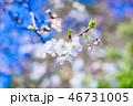 桜 快晴 花の写真 46731005