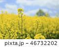 菜の花畑 花畑 菜の花の写真 46732202