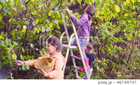 Autumn garden. Two girls collecting the plums 46740747