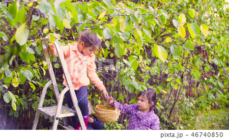 Little girl standing on a ladder and collecting plums 46740850