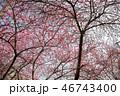 秩父随一の桜の名所 清雲寺⑪ 46743400