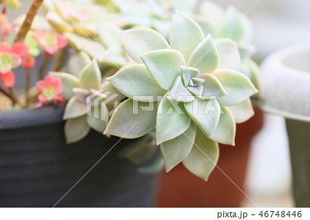 サボテンの花 46748446