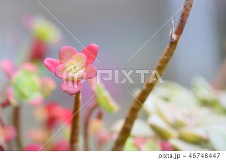 サボテンの花 46748447