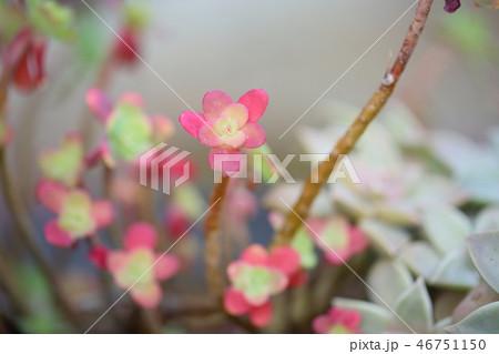 サボテンの花 46751150
